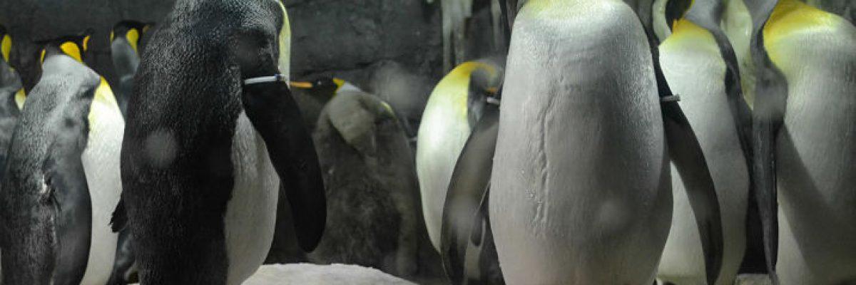 Acuarios. Pinguïnos en O de Osak