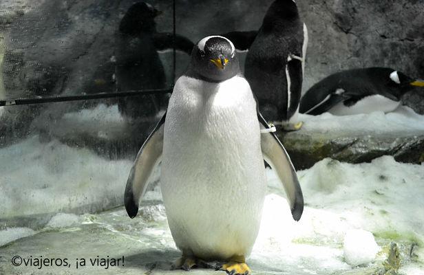 Que ver en Osaka. Pingüinos del Oceanario